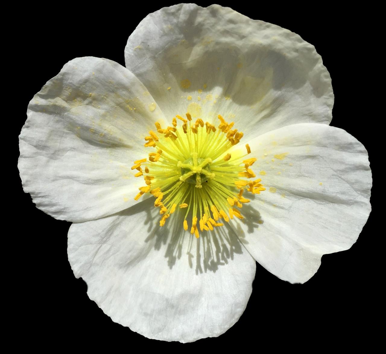 Poppy's Flower