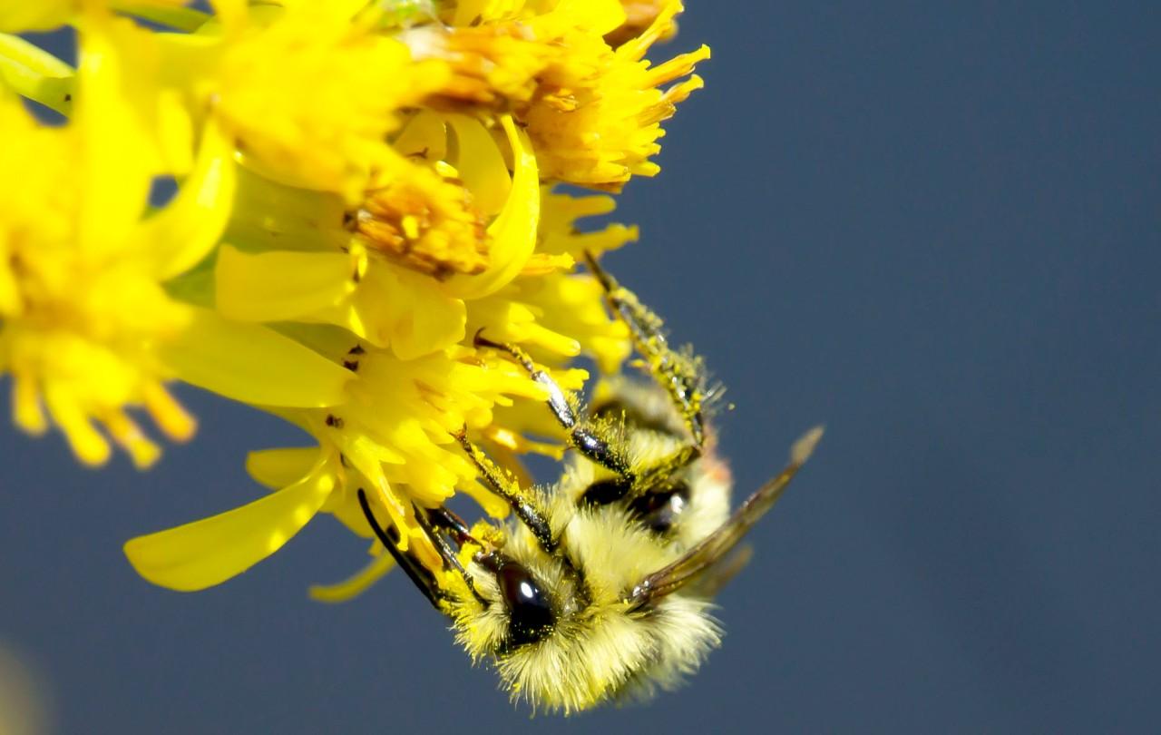 Jackson Bees