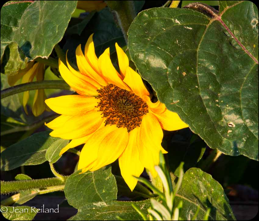 Golden Hour Sunflower
