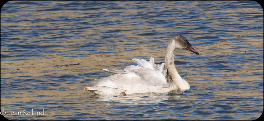Young Trumpeter Swan