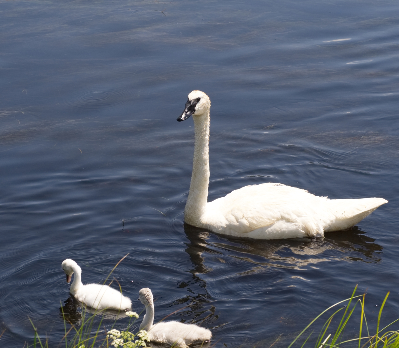 Trumpeter Swan Family