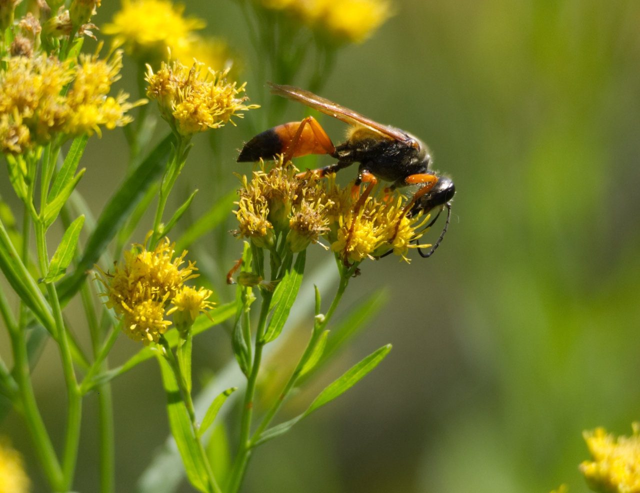 The Great Golden Digger Wasp