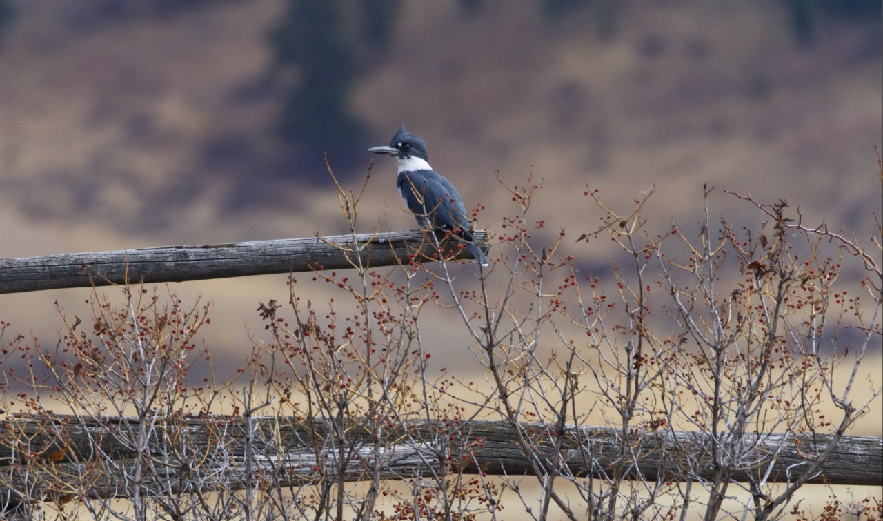 White Belted Kingfisher