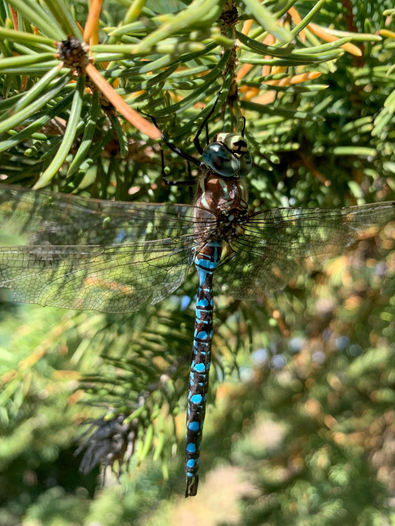 Blue Darner Dragonfly