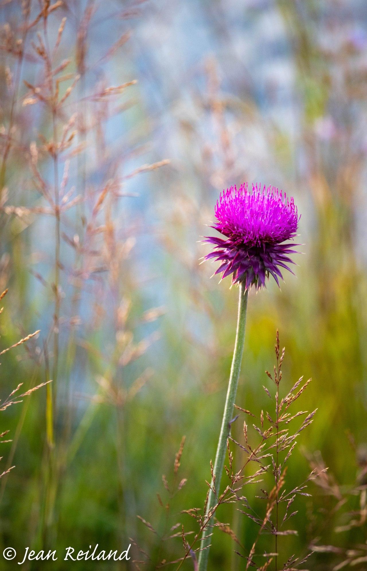 Thistle & Grass